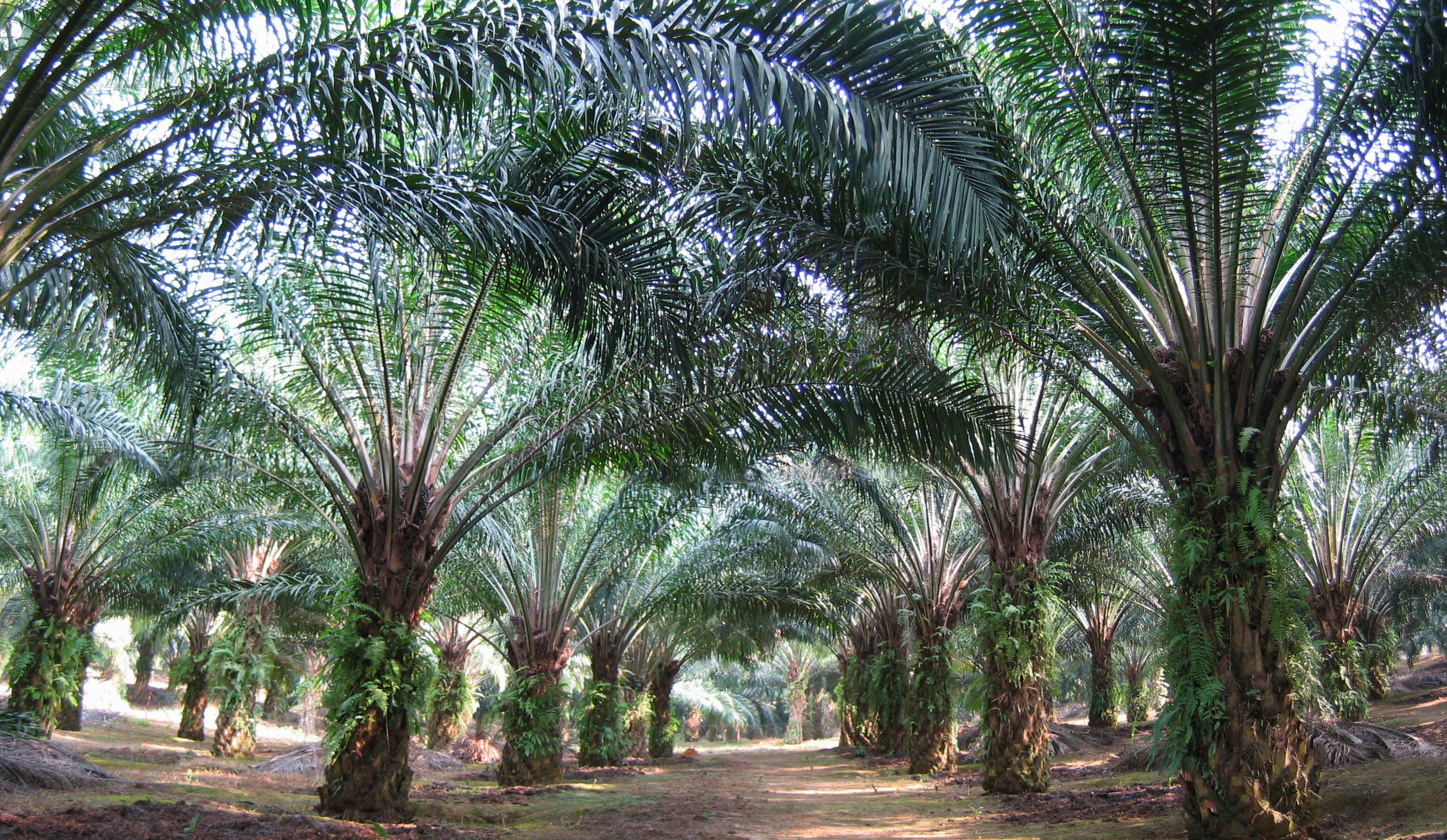 Oil Palm Photo
