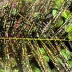 Kerosakan daun oleh kumbang kaboi