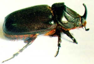 Kumbang badak dewasa