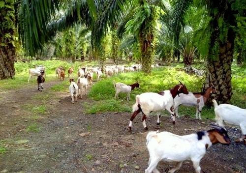 Ternakan kambing