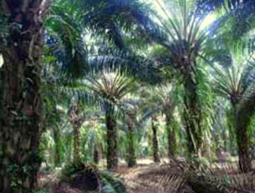 Pokok Sawit Elaeis Guineesis