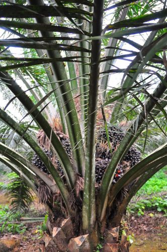 Oil palm tree with many fresh fruit bunches